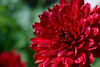 red chrysanthemum - 赤い菊