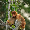 Proboscis Monkey,Borneo Jungle