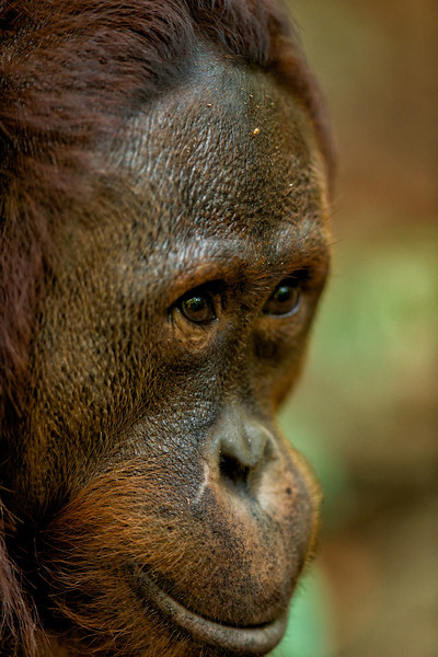 Orangutan in the Borneo Jungle