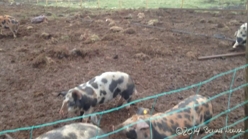 Meeting the Hogs on the Farm