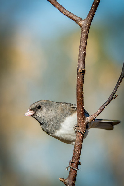Dark Eyed Junco - Slate Colored