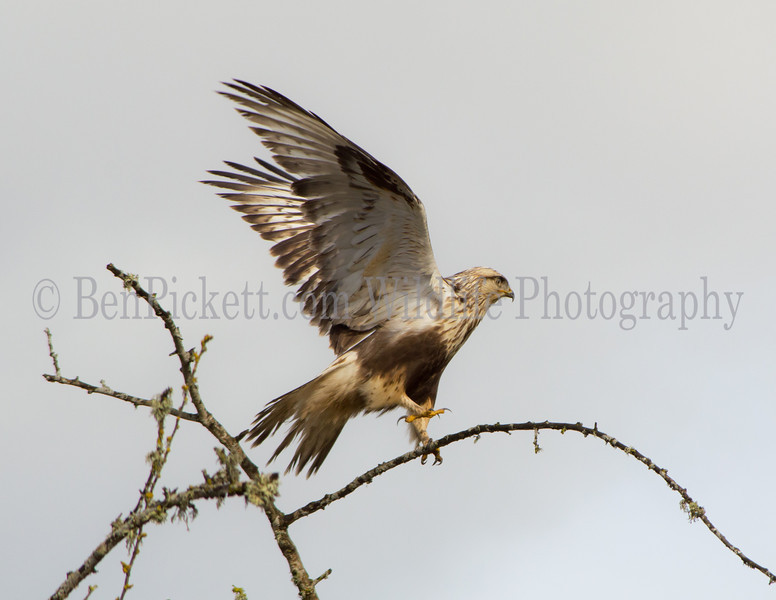 Light Phase Rough Legged Hawk