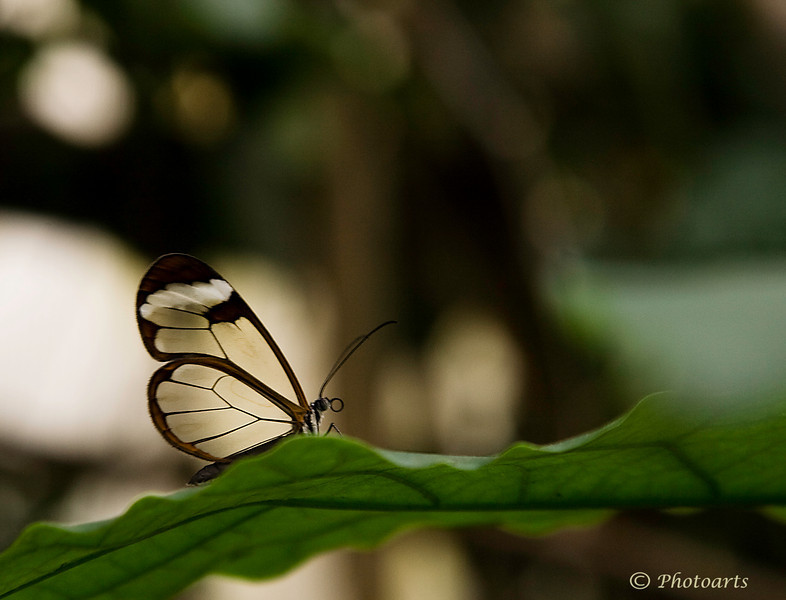 """Glass Wing""  (Greta Oto) #44090916  © Payam Nashery - Photoarts"