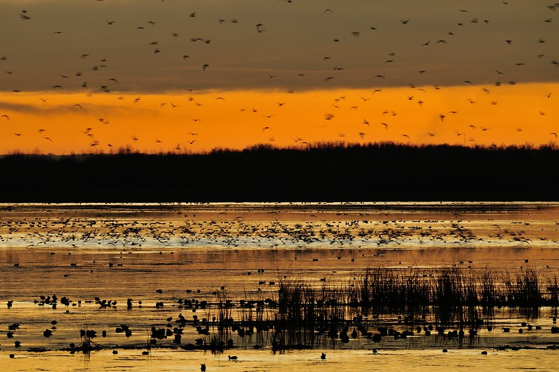 Wildfowl gather at dusk on Big Lake, preparing for the flight south for the winter