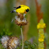 Goldfinch on Summer Thistle
