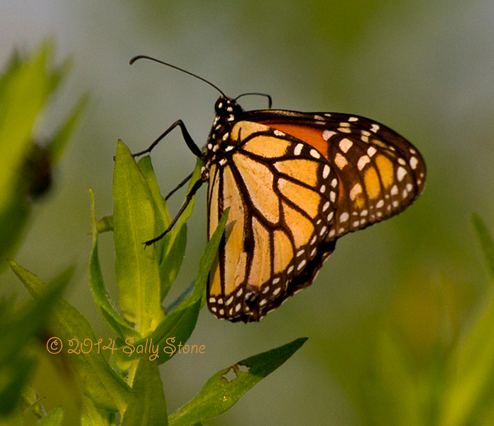 Morning Monarch