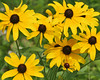 Black-eyed Susan {Rudbeckia hirta}<br /> Evansville, IN<br /> © WEOttinger, The Wildflower Hunter - All rights reserved.<br /> For educational use only - this image, or derivative works, can not be used, published, distributed or sold without written permission of the owner.