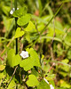 White morning glory {Ipomoea lacunosa} <br /> Evansville, IN <br /> © WEOttinger, The Wildflower Hunter - All rights reserved