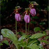 Cypripedium acaule, pink lady's slipper
