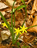 Yellow stargrass {Hypoxis hirsute}<br /> Trout Pond, Wrentham, MA<br /> © WEOttinger, The Wildflower Hunter - All rights reserved<br /> For educational use only - this image, or derivative works, can not be used, published, distributed or sold without written permission of the owner.