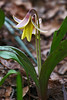 Trout Lily or Dogtooth Violet {Erythronium americanum}<br /> Garden in the Woods Framingham, MA<br /> © WEOttinger, The Wildflower Hunter - All rights reserved<br /> For educational use only - this image, or derivative works, can not be used, published, distributed or sold without written permission of the owner.