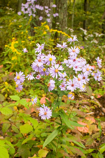 Smooth aster {Symphyotrichum laeve }<br /> Trout Pond Wrentham, MA <br /> © WEOttinger, The Wildflower Hunter - All rights reserved<br /> For educational use only - this image, or derivative works, can not be used, published, distributed or sold without written permission of the owner.