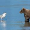 A young bear cub eyes a seagull.  Silver Salmon Creek, Alaska