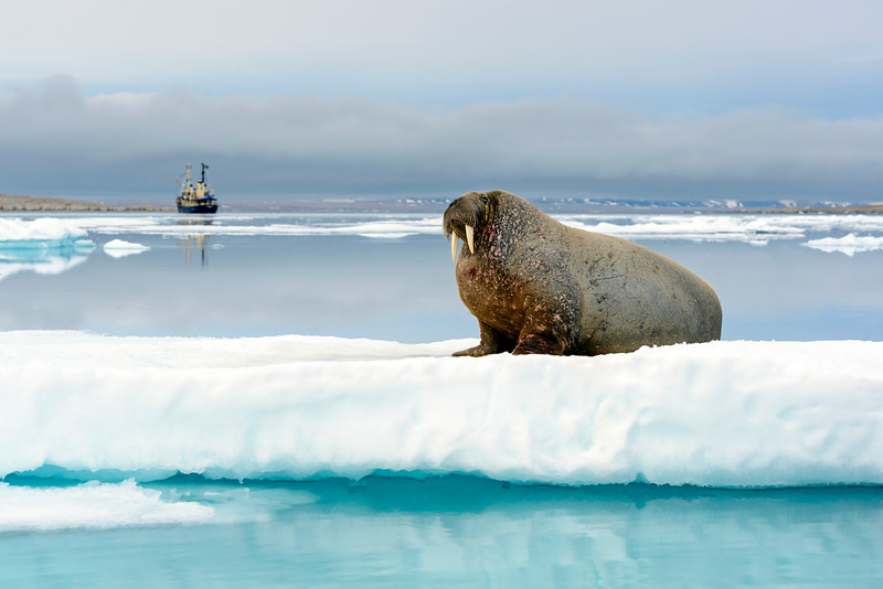 A large walrus on the ice in the high Arctic. Spitsbergen