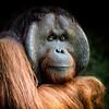 Large male Sumatran orang utan, portrait style.