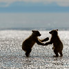 "two bear cubs ""play fighting"" on the beach, Lake Clark National Park, Alaska"
