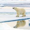 polar bear on the arctic ice, Spitsbergen