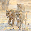 A pride of lionesses on the move. Khwai, Botswana, Africa