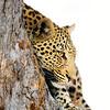 """""""kinky"""" the leopard in a tree, savute, botswana"""