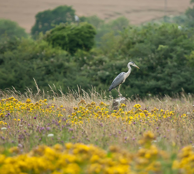 Grey Heron Perched on a Tree Stump in a meadow of wild flowers