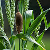 Harvest Mouse Climbs Down a Grass Stalk