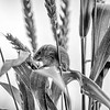Black and white - a harvest mouse climbing through grass stalks