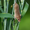 Harvest mouse climbing down stalks of grass