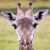 Masai Giraffe Giraffa camelopardalis