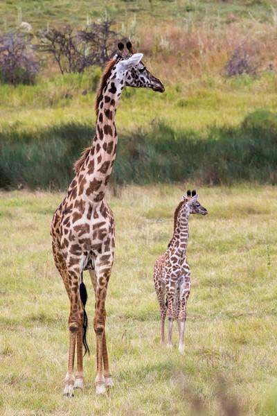 Maasai Giraffe Giraffa camelopardalis
