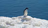 Adelie Penguin on small iceberg at the shoreline at Brown Bluff, Antarctica, a tuya located at the northern tip of the Antarctic Peninsula.