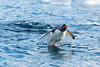 "Gentoo Penguin ""flying"" out of the water at Cierva Cove, located at the far northern end of Hughes Bay, at the northern end of the Gerlache Strait"