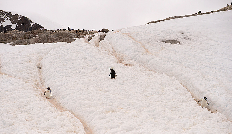 "Gentoo Penguins traveling on well worn ""Penguin Highways"" at Neko Harbor, an inlet on the Antarctic Peninsula on Andvord Bay, situated on the west coast of Graham Land."