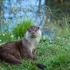 Full body view of an otter sitting in the grass by the water