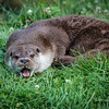 An otter lying on the grass with its mouth open and showing its teeth and tongue