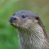 Otter - side view