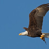 Eagle In Flight With a Fish along the Mississippi River