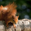 Red Squirrel on a silver birch tree trunk