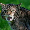 A particularly scary looking Scottish Wildcat. The photo was taken at the British Wildlife Centre where the wildcats are being bred to reintroduce the species into their native Scotland where they are currently extremely rare and in danger of becoming extinct.