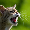 Scottish Wildcat baring its teeth and snarling