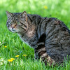 Scottish Wildcat with its distinct ringed tail