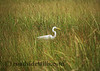 The Great Egret #342