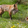 Red foxes (Vulpes vulpes) provinding ground squirrels for its young