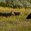 Coyotes (Canis latrans) and Grizzly Bear (Ursus arctos horribilis)