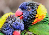 nature's palette - lorikeets