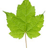 A maple leaf from Big South Fork National River & Recreation Area in east Tennessee.