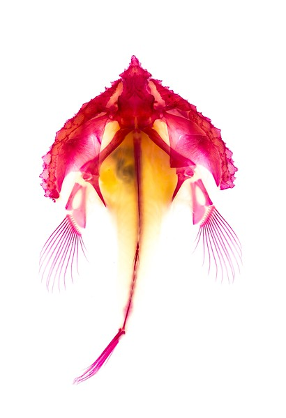 A stained and cleared 'batfish' in the family Ogcocephalidae, a fascinating group of benthic marine fishes. One species was even found in 13,000 feet of water.