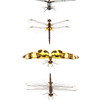 A collection of dragonflies from the East Hill neighborhood of Pensacola, Florida. I captured each of these individuals with a butterfly net, photographed them on location with my field studio, and released them unharmed.