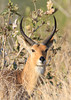 Common or Southern Reedbuck