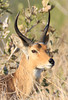 Common or Southern Reedbuck.