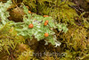 Cabbage lungwort lichen, Lobaria linita, growing in old growth forest, Olympic National Park, Washington, USA